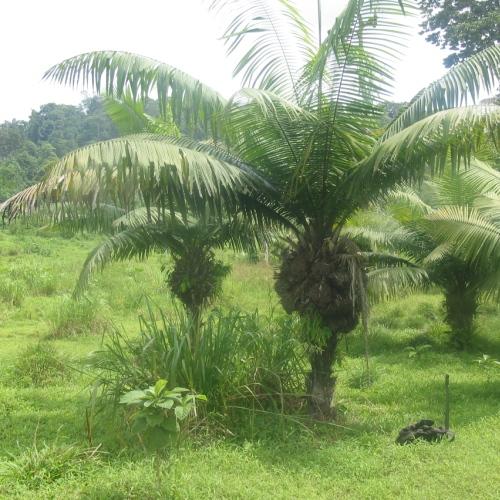 עץ הטאגווה